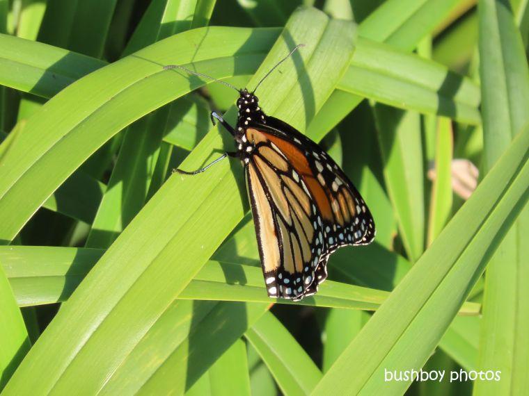 wanderer_butterfly_grass_caniaba_july 2019