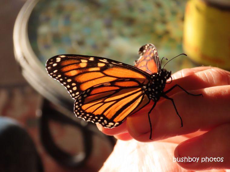 wanderer_butterfly_saved_hand_caniaba_july 2019