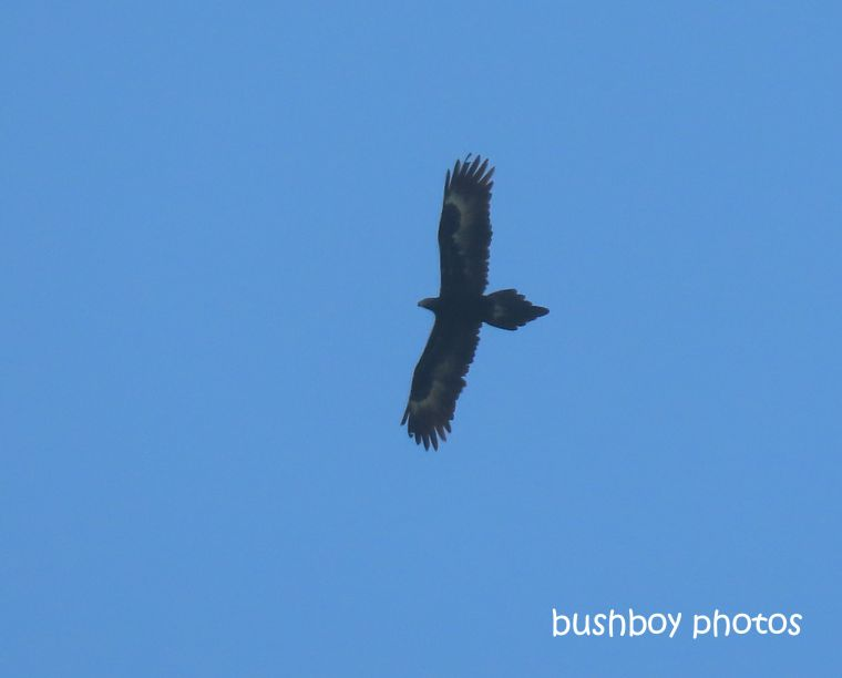 wedged_tailed_eagle_flying_caniaba_july 2019