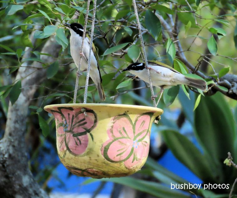 white_chinned_honeyeater2_hanging_pot_july 2019