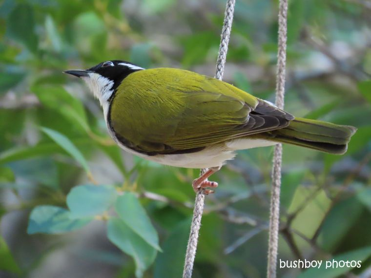 white_chinned_honeyeater_hanging_pot_july 2019
