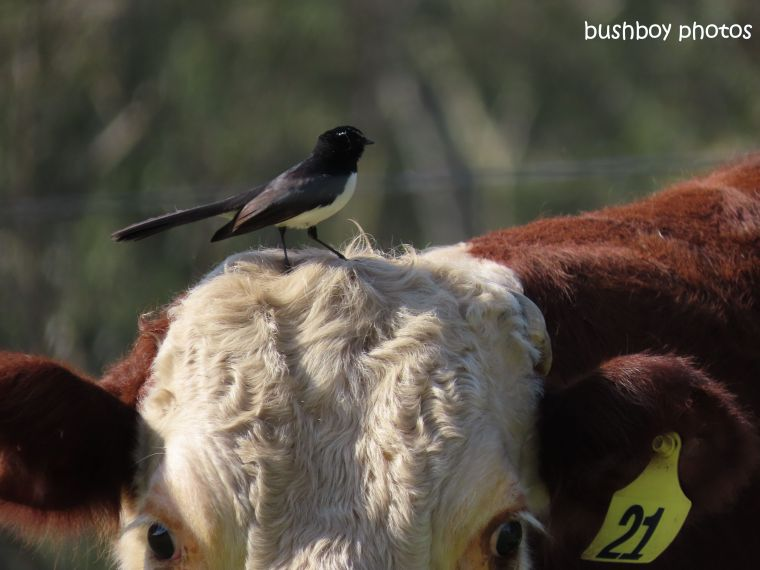 willie_wagtail_cow_farm_caniaba_july 2019