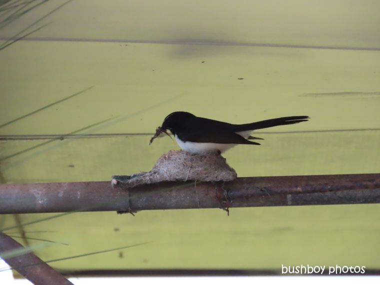 willie_wagtail_nest_build_caniaba_july 2019