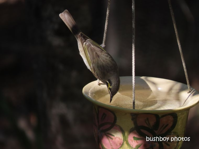 yellow_faced_honeyeater_hanging_pot_july 2019