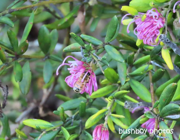 bee_grevillia_named_caniaba_august 2019
