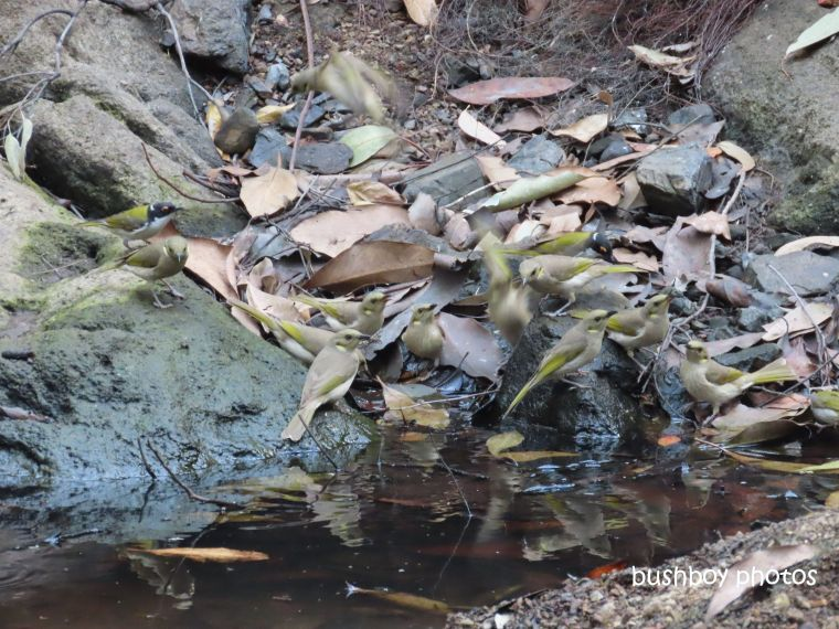 birds_waterhole_fucous_white-throated_honeyeaters_august 2019