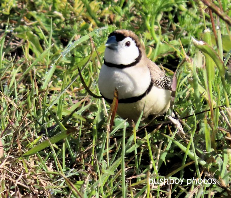 double-barred_finch_grass_named_caniaba_august 2019