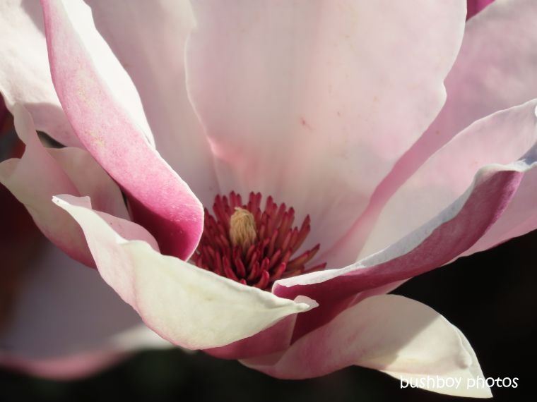 flower_magnolia_named_kyogle_august 2019