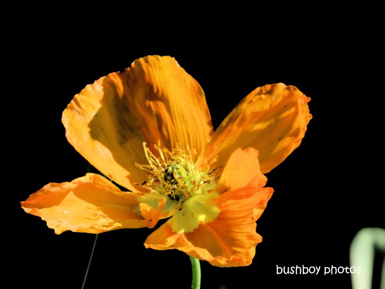 flower_poppy_orange_named_kyogle_august 2019
