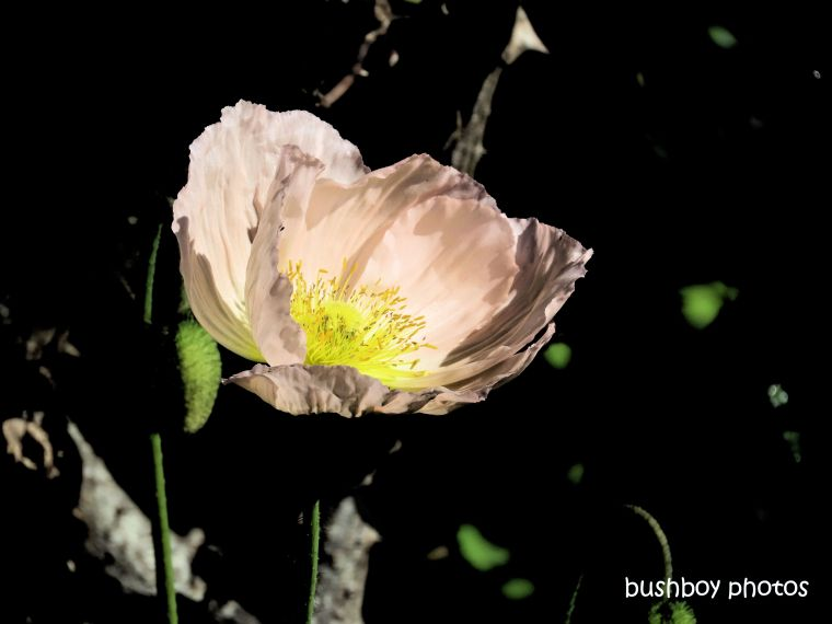flower_poppy_pink_named_kyogle_august 2019