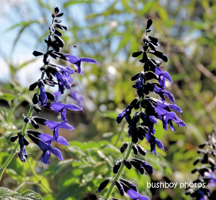 flower_salvia_blue_named_kyogle_august 2019