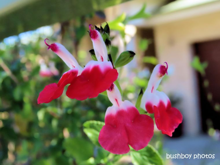 flower_salvia_hotlips_named_kyogle_august 2019