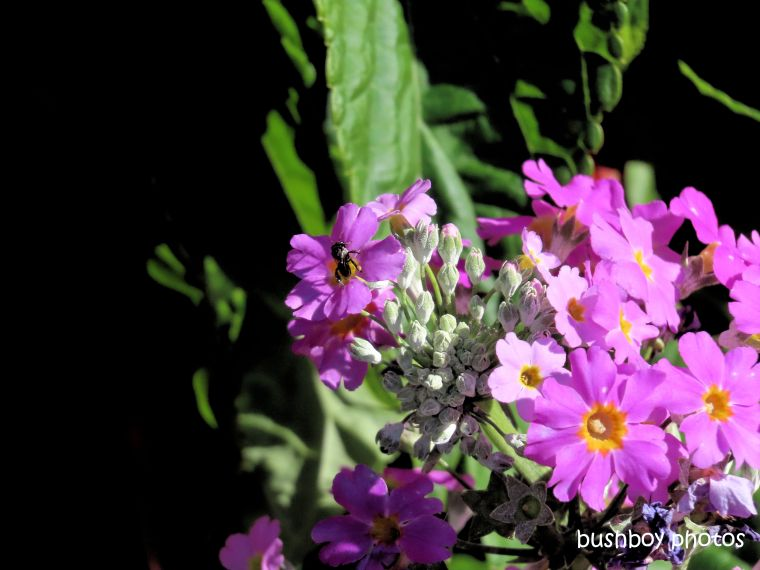 flowers_garden_bee_native_named_kyogle_august 2019