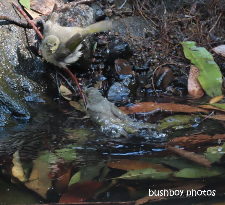 fuscous_honeyeaters_bath2_waterhole_named_home_jackadgery_august 2019