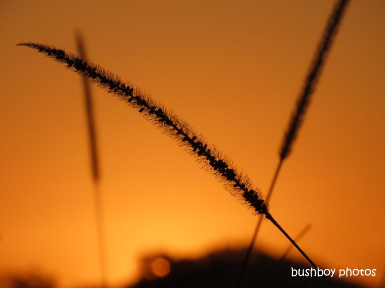 grass_seeds_sunset_orange_named_caniaba_august 2019