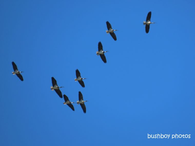 ibis_flying_blue_sky_named_caniaba_august 2019