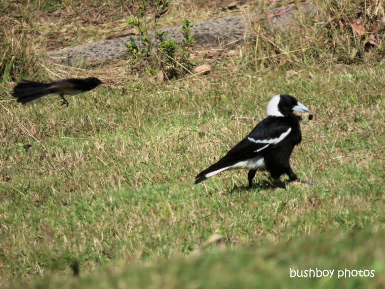 magpie_willie_wagtail_attack1_named_caniaba_august 2019
