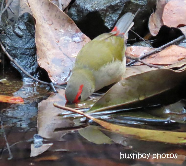 red_browed_firetail_finch_drinking_waterhole_named_home_jackadgery_august 2019
