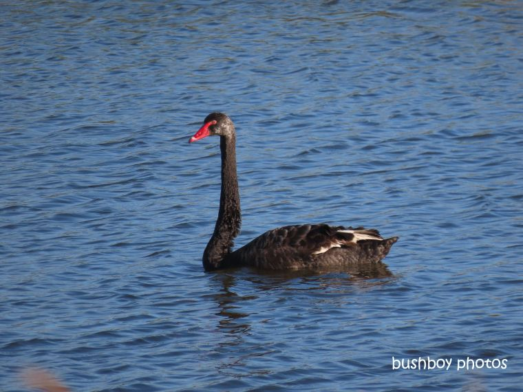swan_black_wetland_named_casino_august 2019