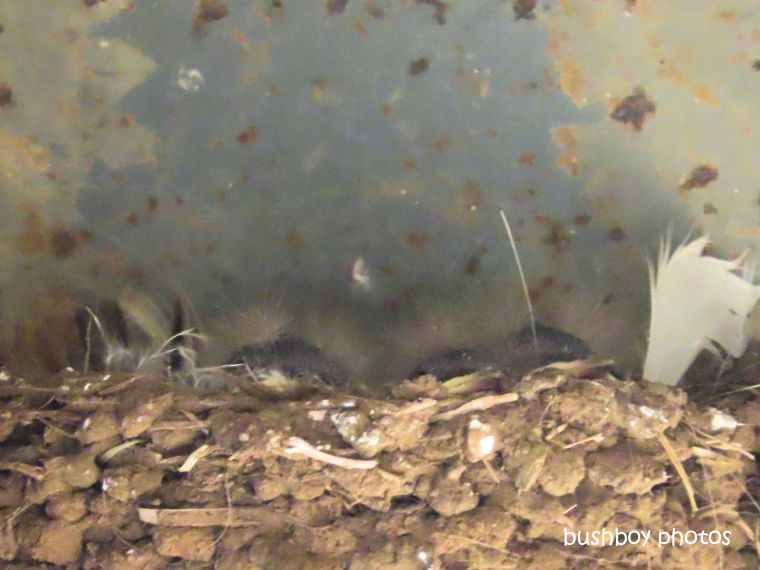 welcome_swallow_nest_chicks_named_caniaba_august 2019