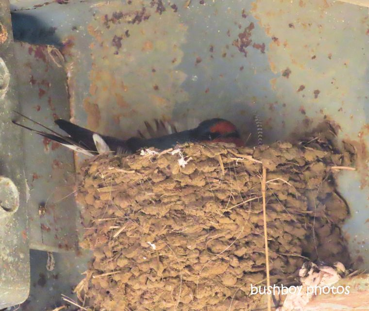 welcome_swallow_nest_verandah_named_caniaba_august 2019