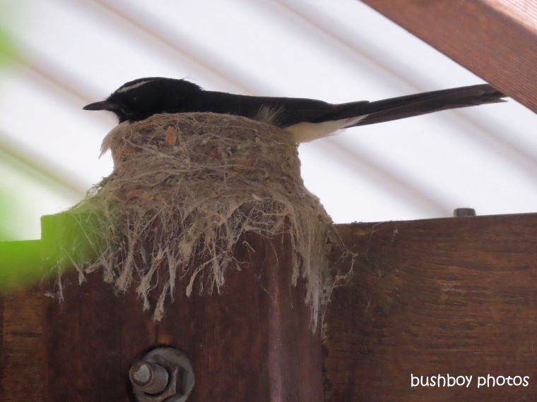 willie-wagtail_nest_carport_named_caniaba_august 2019