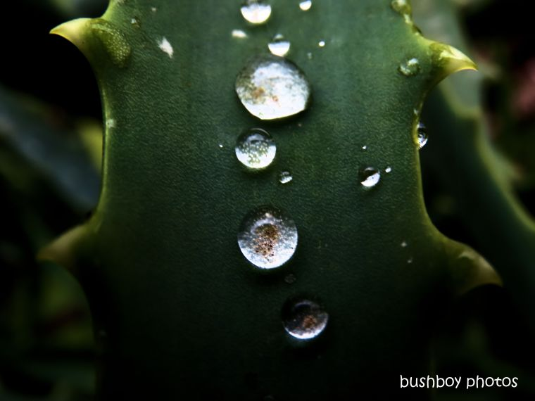 191014_blog_challenge_macro_monday_water_drops_succulent_agave
