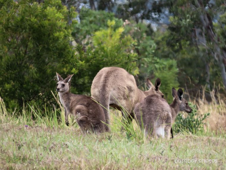 191027-blog-challenge-silent-sunday-kangaroos-caniaba-tower