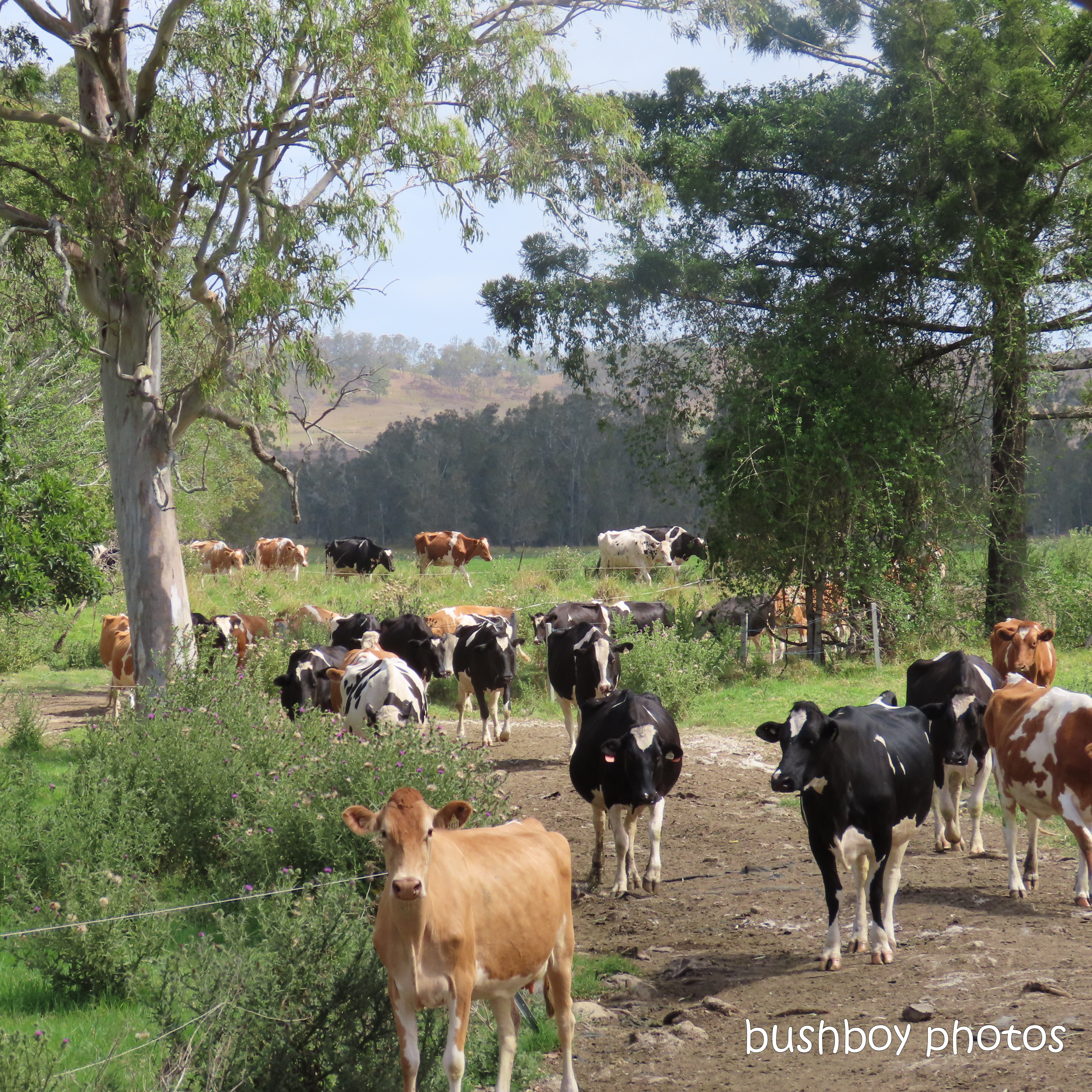 191029_blog_challenge_square_line_cows
