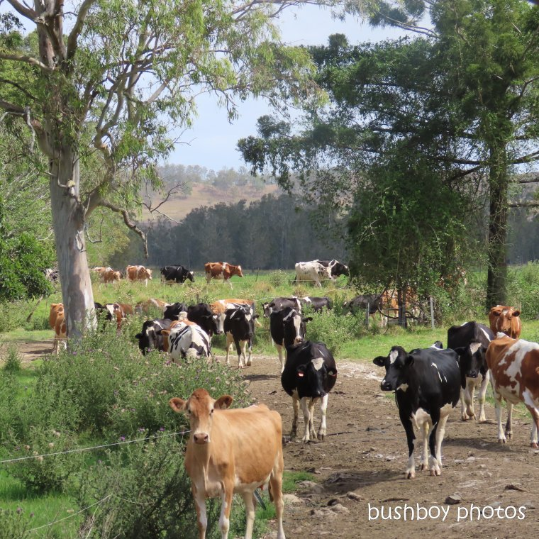 191029_blog_challenge_square_line_cows
