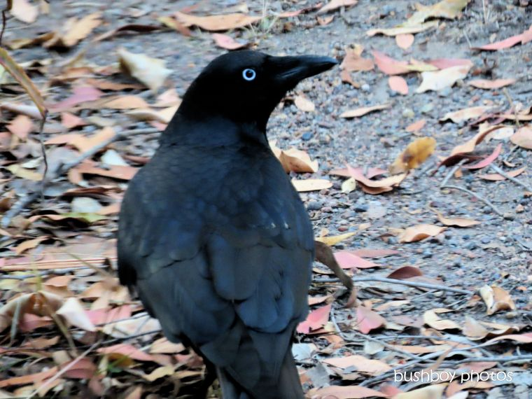 australian_raven_named_home_jackadgery_sept 2019