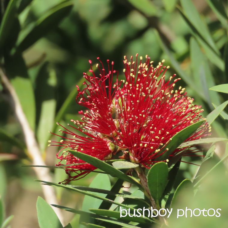 bottlebrush_flower_named_caniaba_sept 2019
