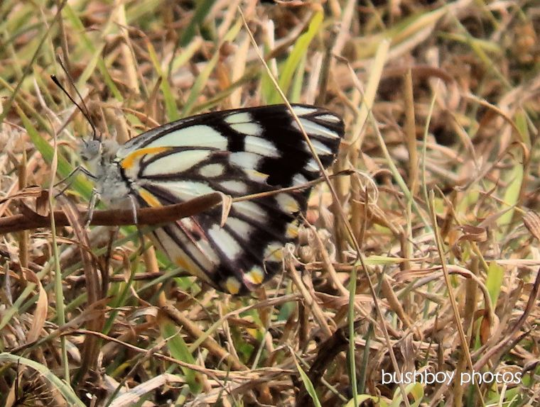 butterfly_caper_white_named_caniaba_sept 2019