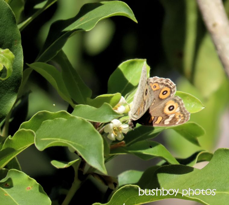 butterfly_meadow_argus_named_home_jackadgery_sept 2019
