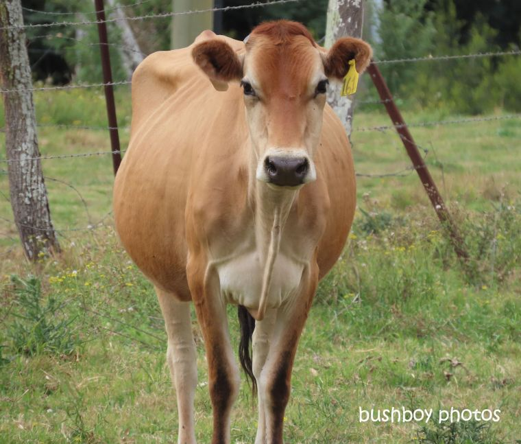 cow_dairy_named_kyogle_sept 2019