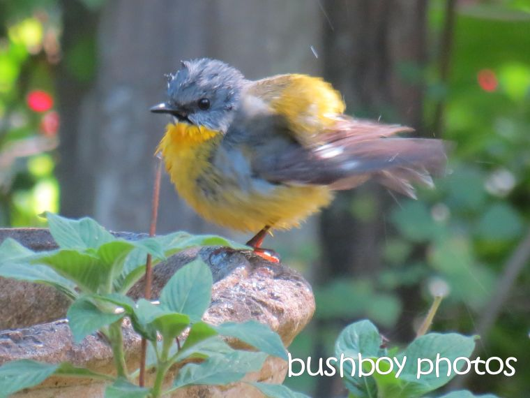 eastern yellow robin_drying_named_binna burra_july 2016