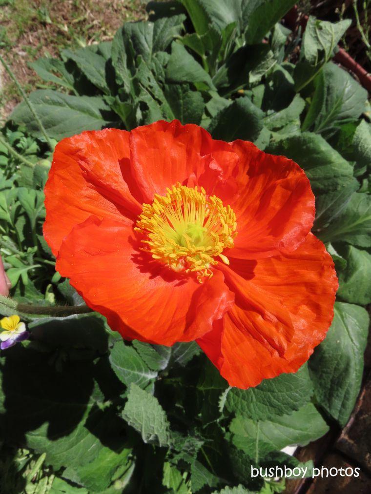 flower_poppy_red_named_caniaba_sept 2019