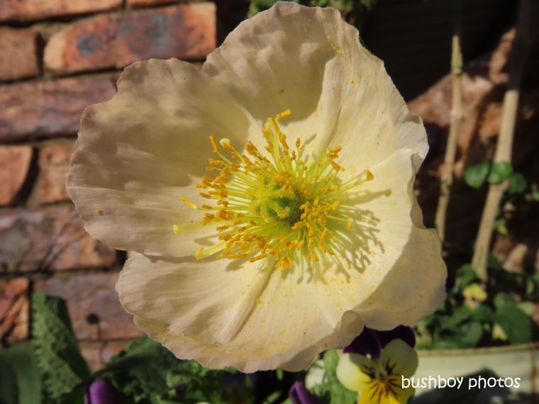 flower_poppy_yellow_named_caniaba_sept 2019