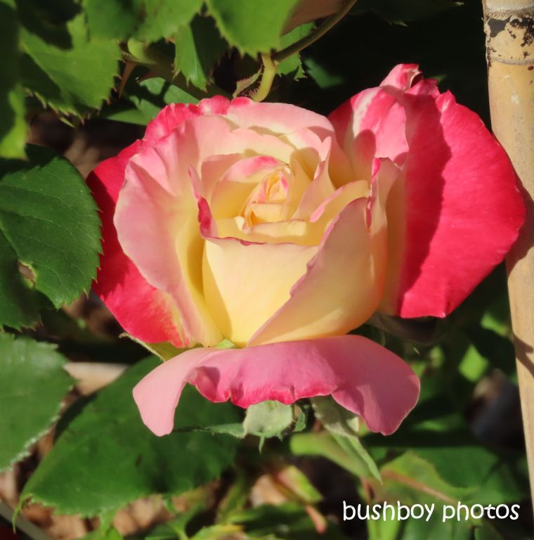 flower_rose_double_delight2_named_caniaba_sept 2019