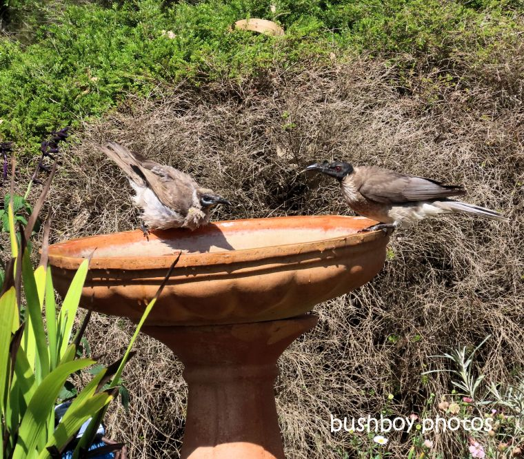 friarbirds_noisy_little_bird_bath_named_caniaba_sept 2019
