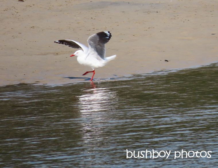 gull_dance_named_brunswick_heads_sept 2019