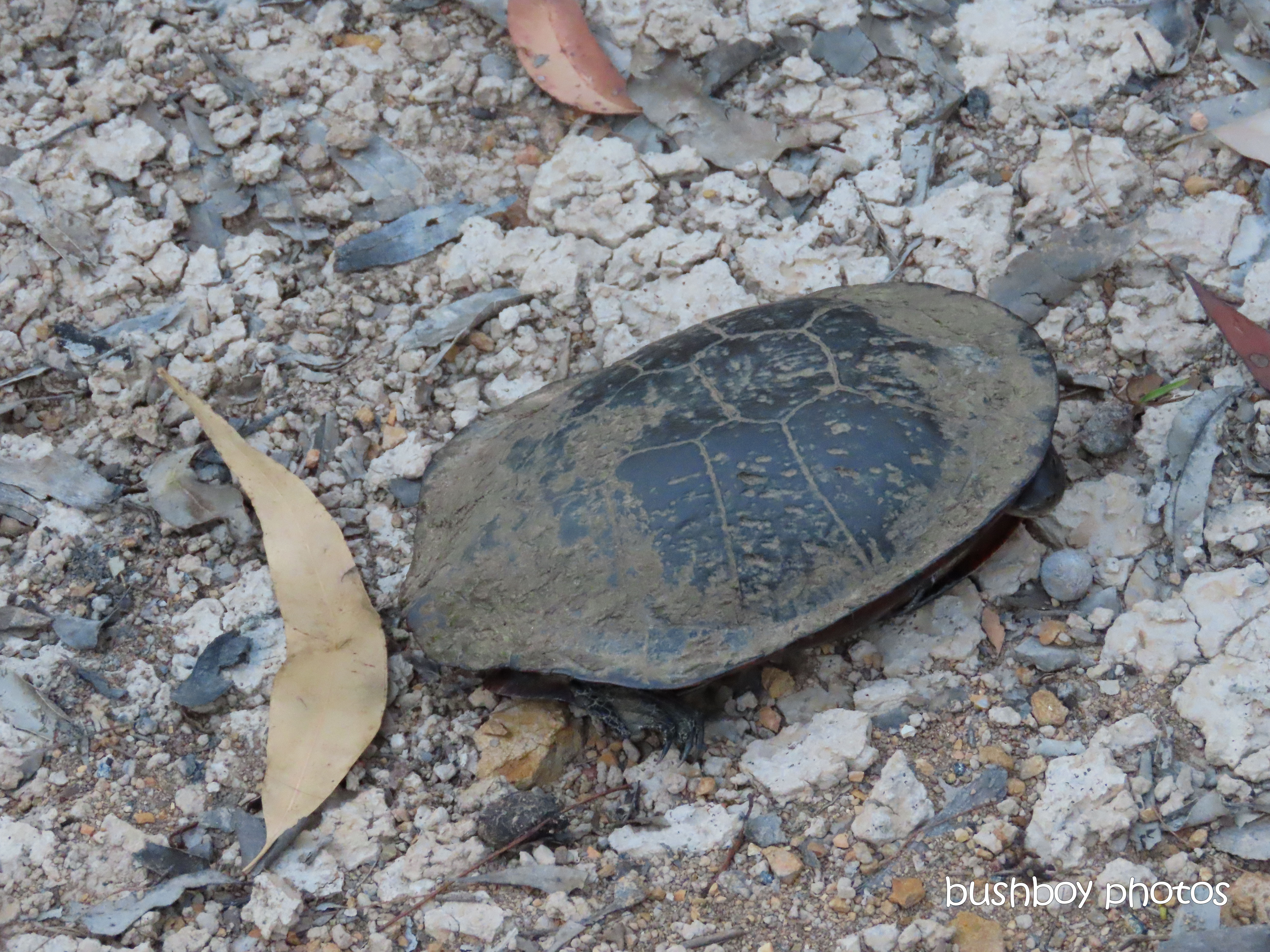 long-necked tortoise_rescue_dam_shell_named_home_jackadgery_oct 2019