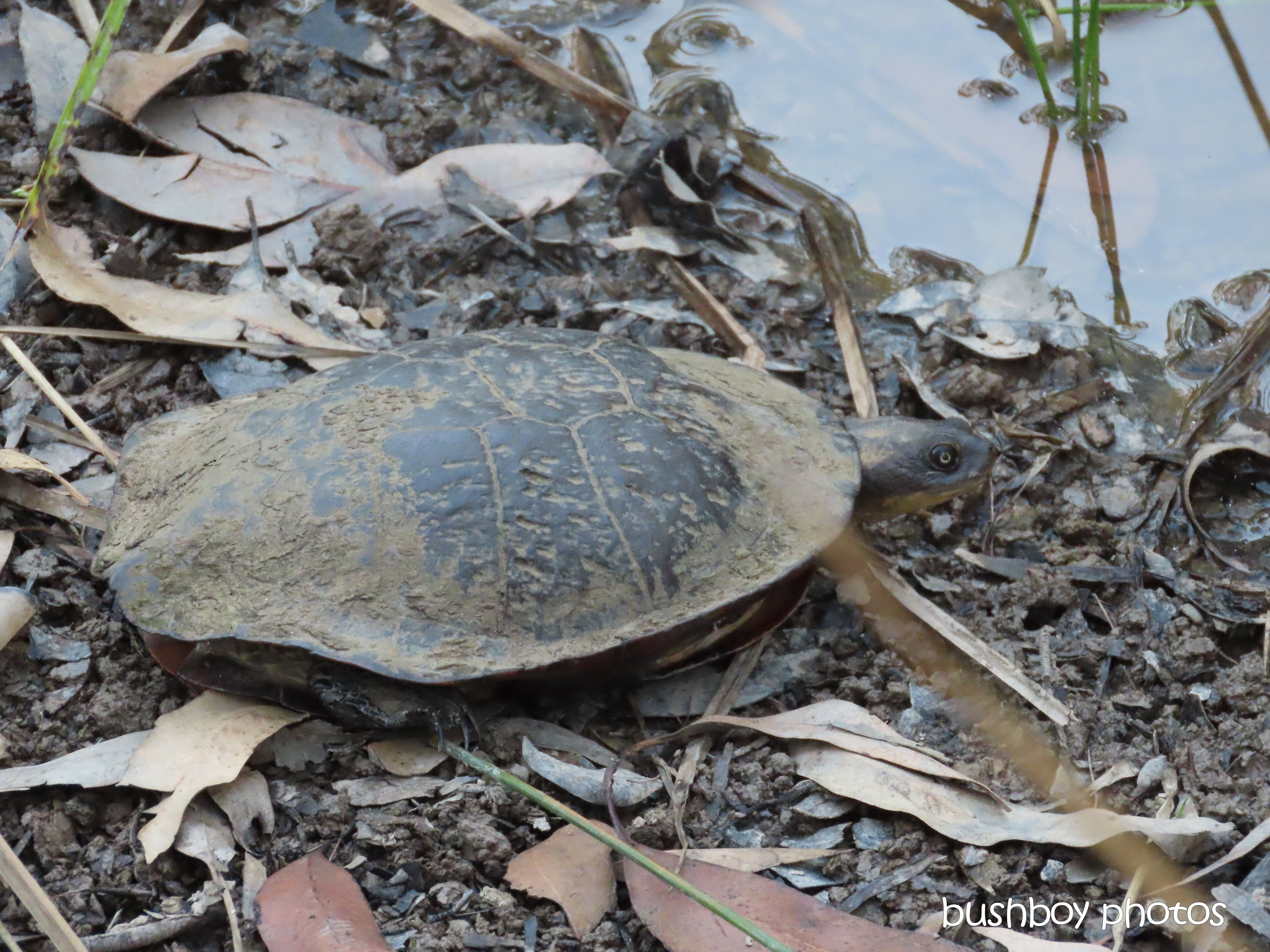 long-necked tortoise_rescue_emerge_named_home_jackadgery_oct 2019