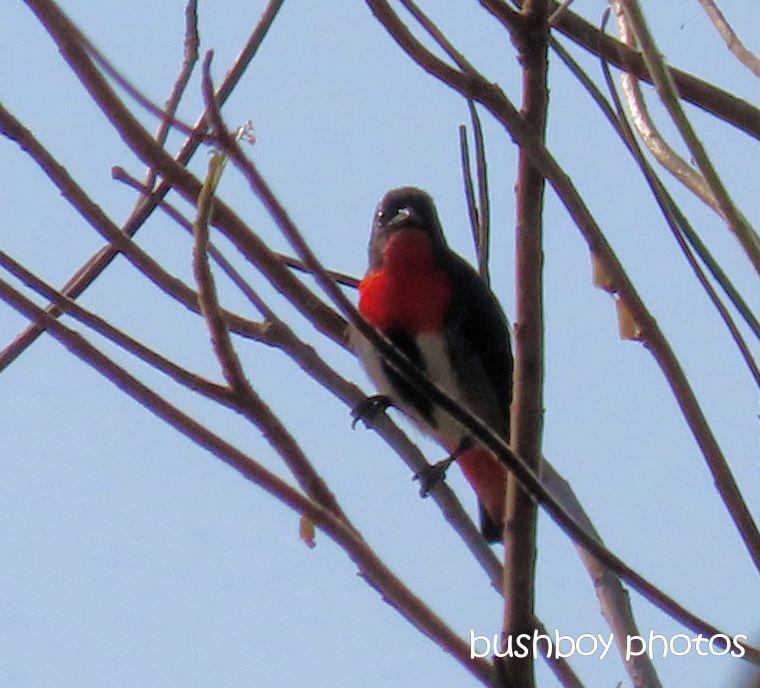 mistletoe_bird_named_caniaba_sept 2019