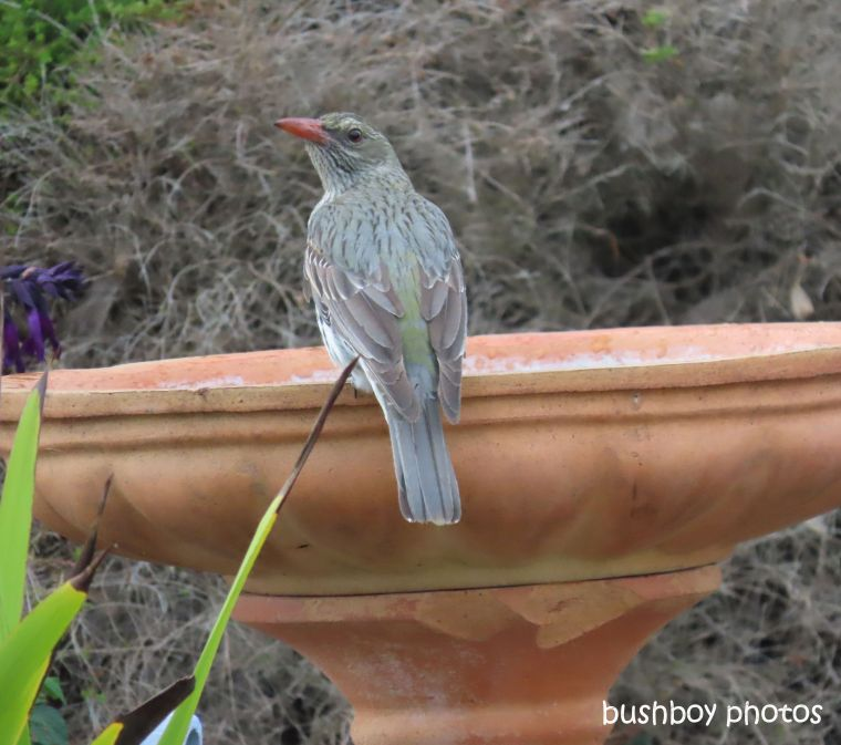 olive-backed oriel_female_bird_bath_named_caniaba_sept 2019