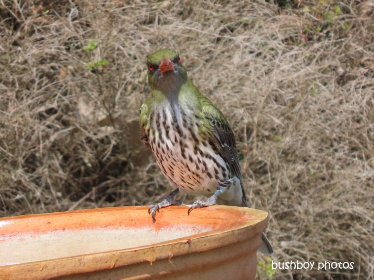 olive-backed oriel_looking_bird_bath_named_caniaba_sept 2019