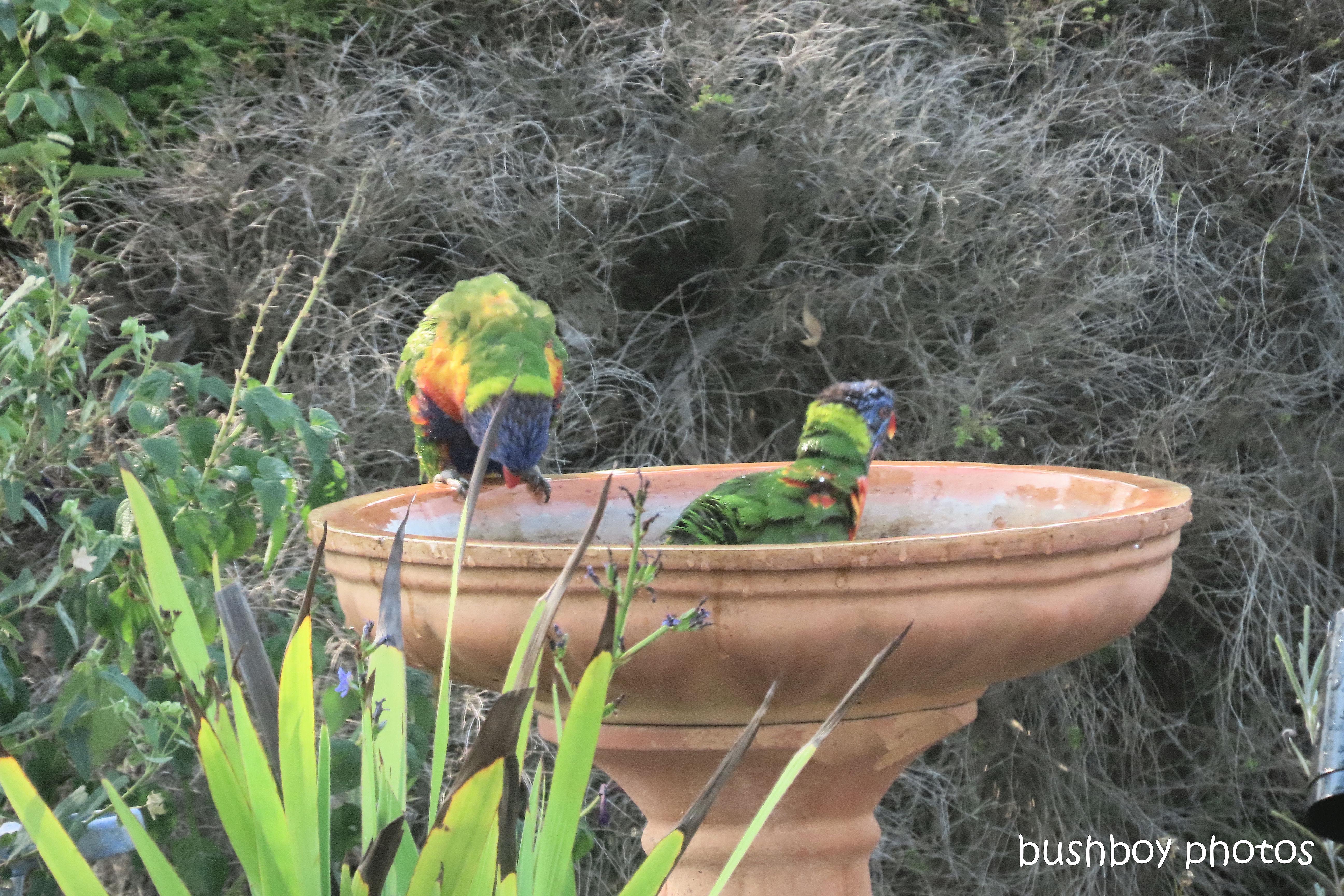rainbow_lorikeets_bird_bath_fun_splash1_named_caniaba_oct 2019