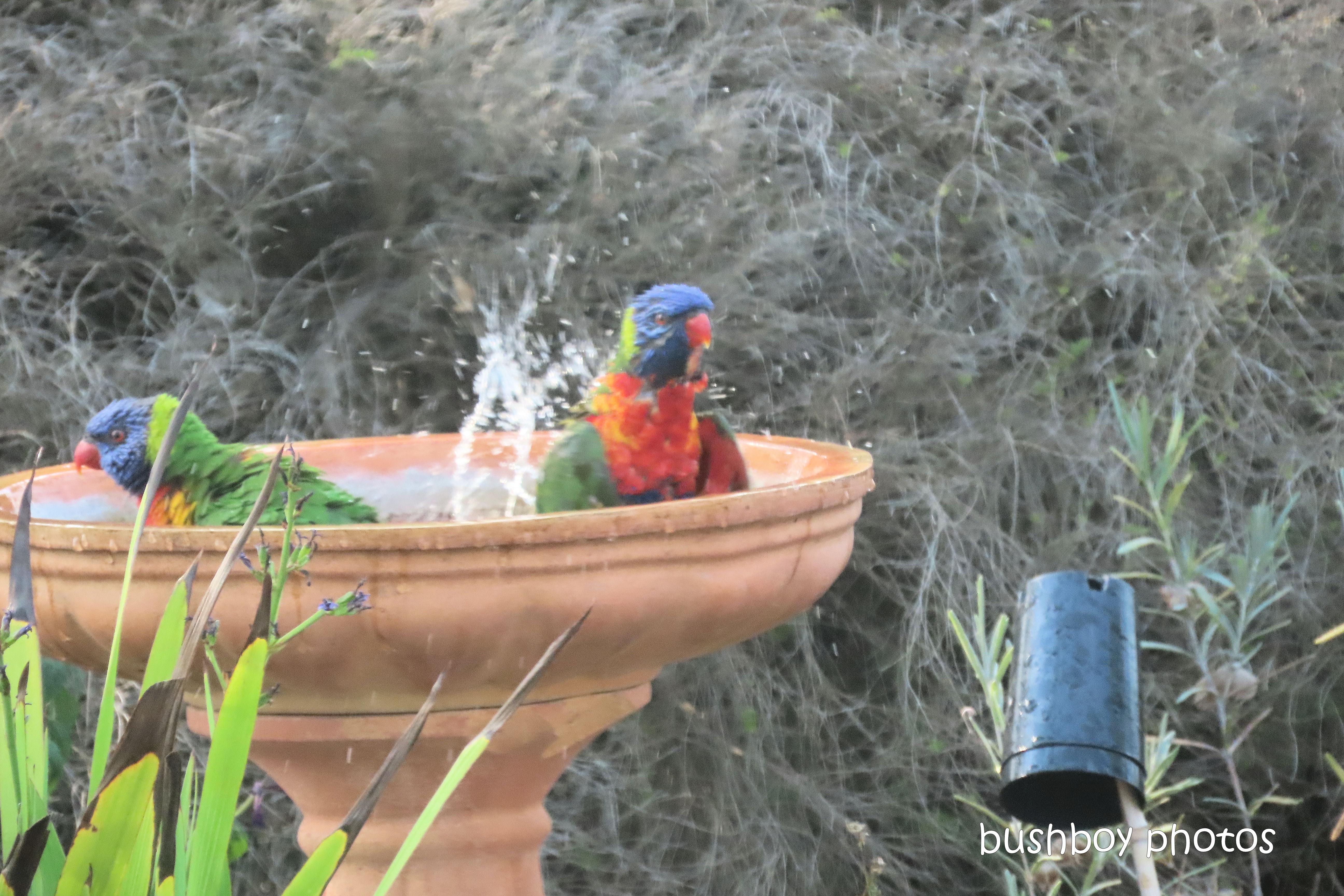 rainbow_lorikeets_bird_bath_fun_splash2_named_caniaba_oct 2019