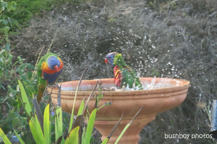 rainbow_lorikeets_bird_bath_fun_splash3_named_caniaba_oct 2019