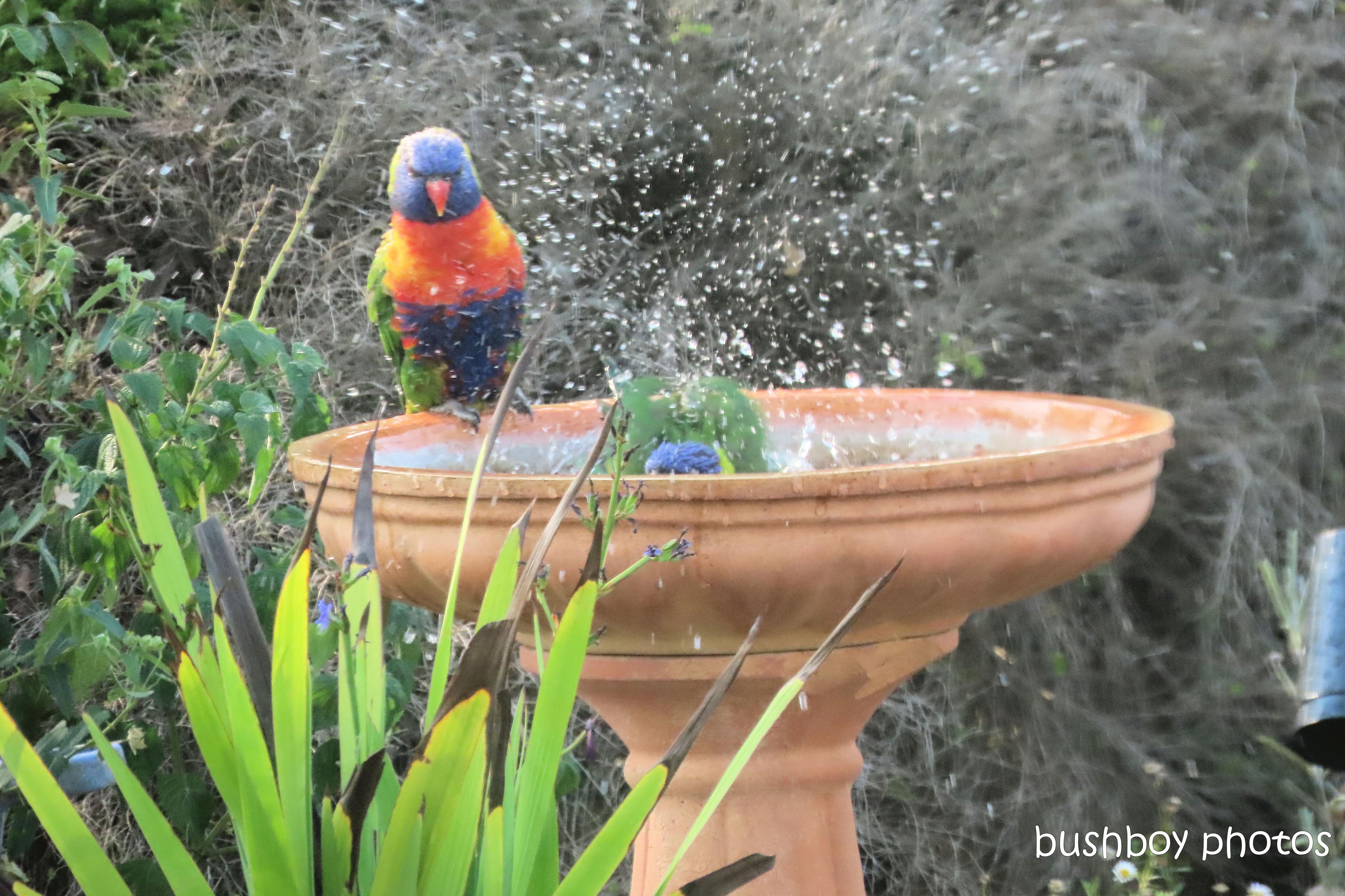 rainbow_lorikeets_bird_bath_fun_splash4_named_caniaba_oct 2019